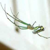 orchard orb weaver