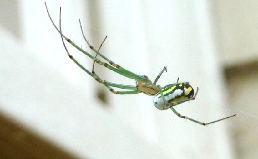 Weekly Photo Challenge: Orchard Orb Weaver