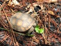 Juvenile gopher tortoise