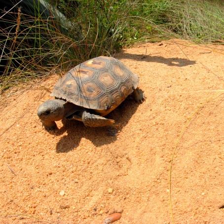 Gopher tortoise on burrow apron