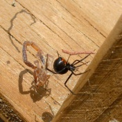 Black Widow on Bucket Trap Cover