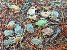 Fourteen ornate chorus frogs and a mole salamander
