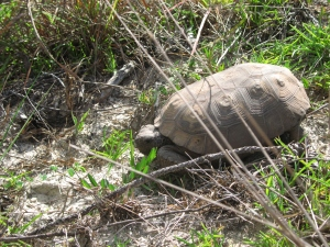Adult Gopher Tortoise