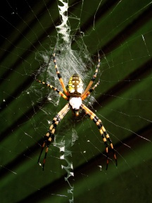 Yellow Garden Spider