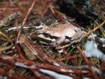 Ornate Chorus Frog
