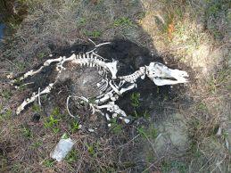 Hog Skeleton