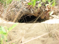 Typical gopher tortoise burrow