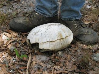 Gopher Tortoise Shell