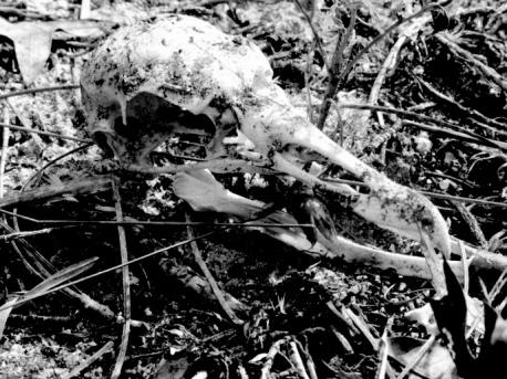 Vulture Skull