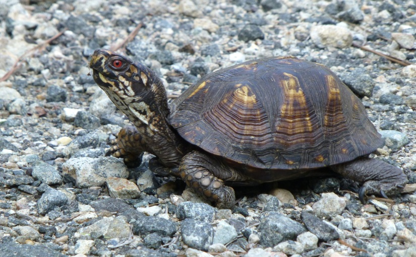 Weekly Photo Challenge: Eastern Box Turtle