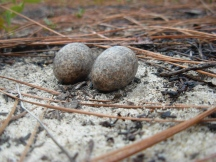 Common Nighthawk Eggs