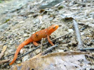 Red Spotted Newt (Eft)