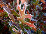 Frost on turkey oak leaves.